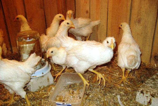 Выращивание птицы на мясо