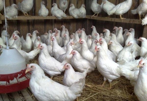 Мини ферма по разведению кур