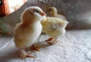 Как выглядят цыплята фавероли