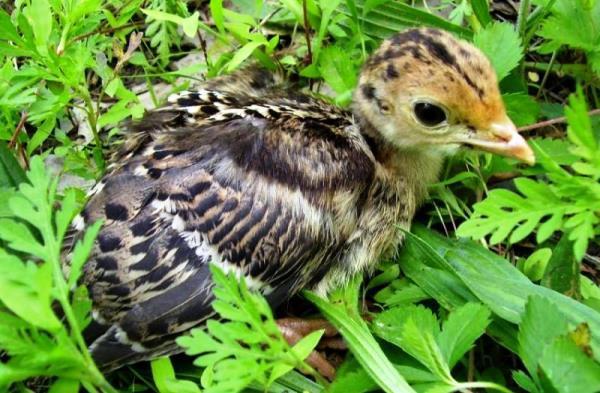 Паразитарные болезни домашней птицы