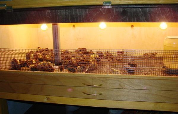 Брудер для домашних птенцов