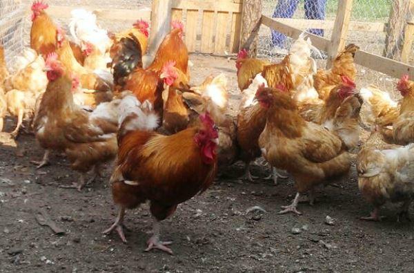 Как содержать куриц дома