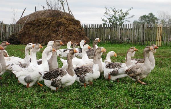 Содержание мясных пород гусей