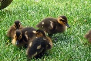 Профилактика болезней водоплавающих птиц