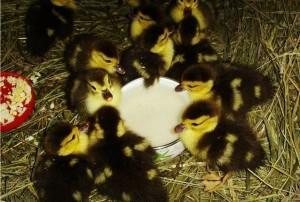 Кормление суточных птенцов утки