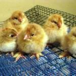 Выращивание дома мясных кур