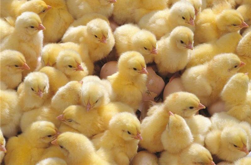 Цыплята британской разновидности