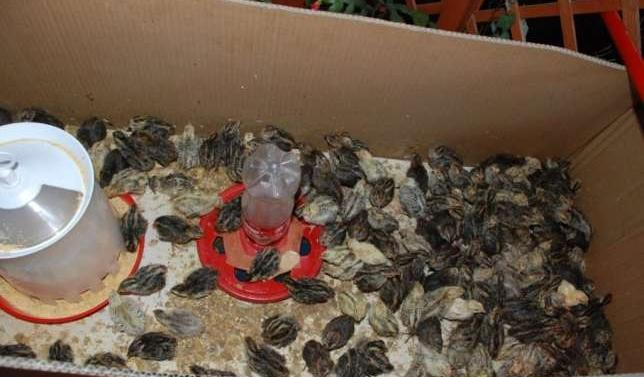 Коробка с птенцами перепелов