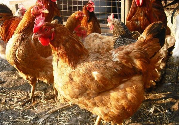 Мясо-яичный кросс кур