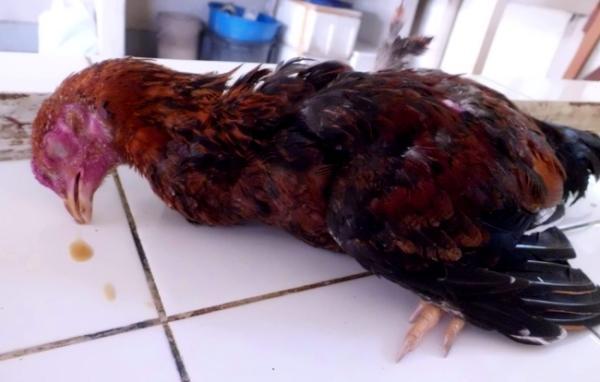 Курица, инфицированная болезнью Ньюкасла
