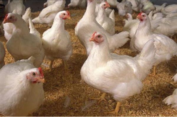 Молодые русские белые цыплята