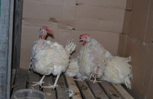 Домашние птицы зараженные болезнью