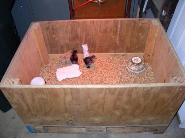Ящик с цыплятами перепелов