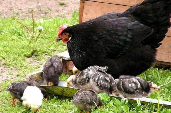 Цыплята породы Московская черная