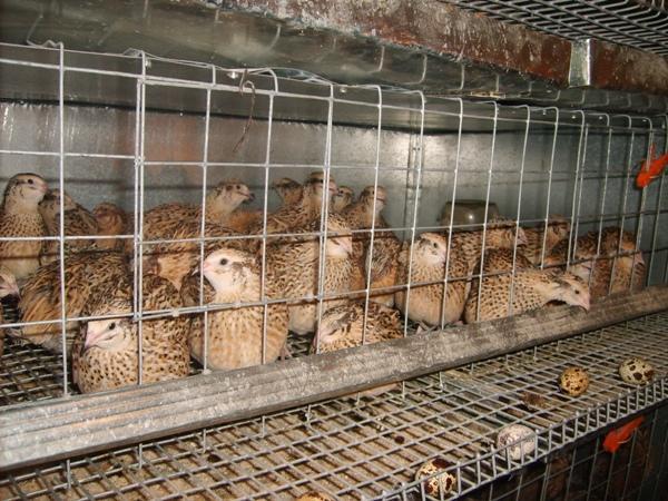 Домашние птицы в клетке на даче