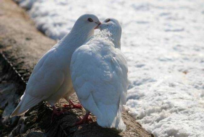Два белых голубя целуются