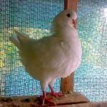 Мясной голубь белого цвета