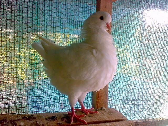 Фото белого голубя Токсаны