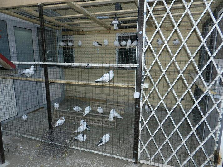 Бакинские голуби в голубятнике