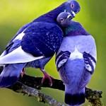 Два голубя синего цвета