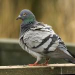 Фото здорового голубя серого цвета