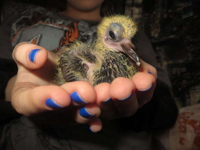 Птенец голубя в руке