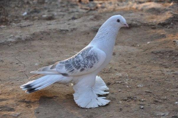 Бойный голубь породы Такла
