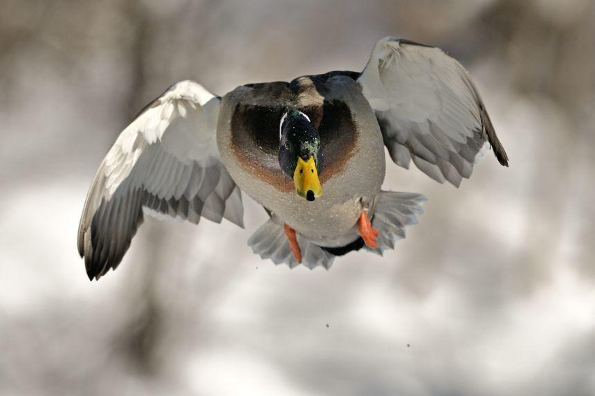 Фото кряквы в полете