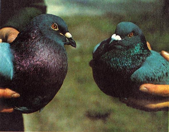 Голубь и голубка породы Штрассер