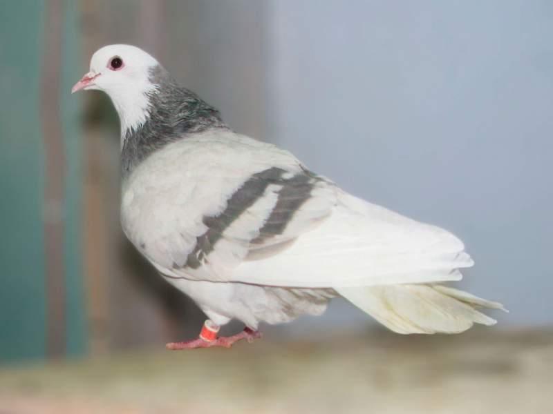 Фото пермского высоколетного голубя