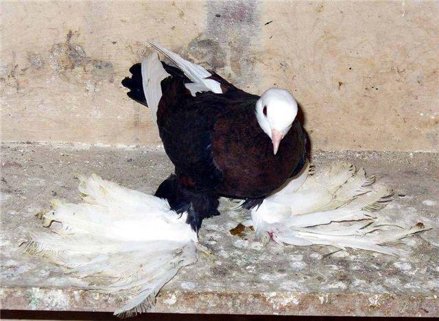 Фото армавирского белоголового космача