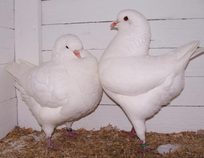 Мясные голуби породы Кинг