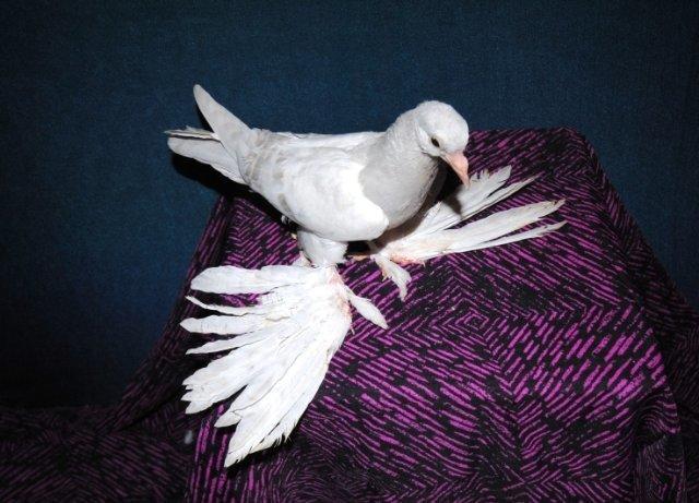Белый хамаданский бойный космач