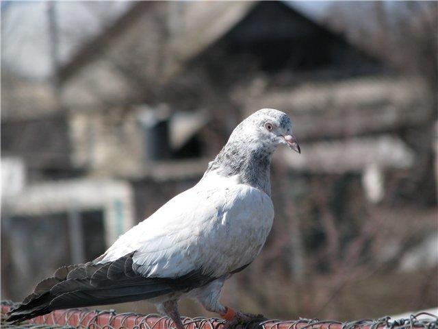 Фото индопакистанского высоколетного голубя