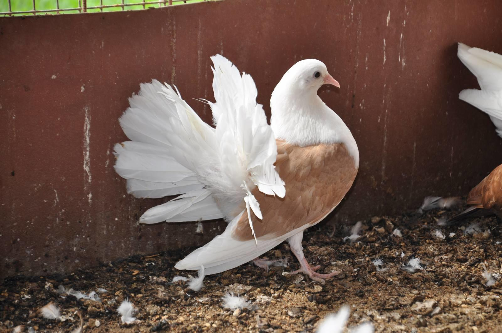 Павлинный голубь с белым хвостом