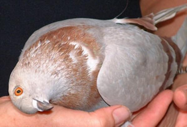 Повернутая голова голубя говорит о вертячке