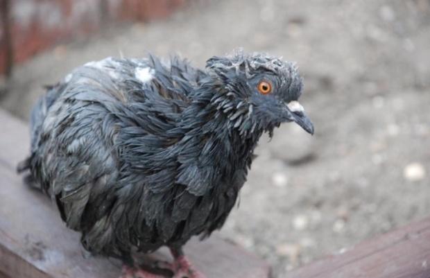 Фото серого взъерошенного голубя