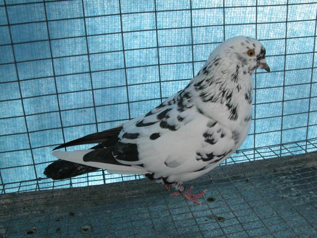 Фото тегеранского бойного голубя