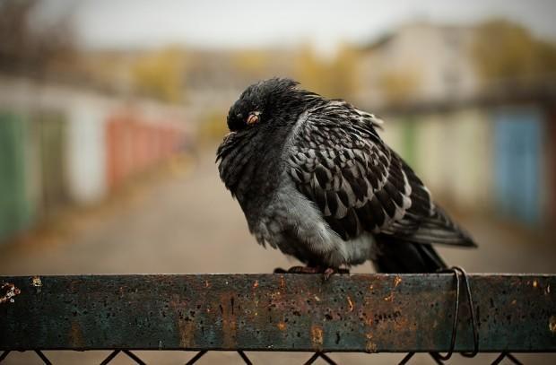 Дикий голубь, больной орнитозом