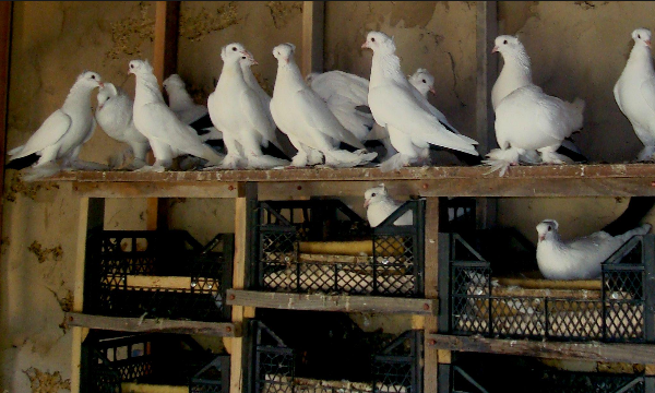 Голуби белого цвета в голубятне