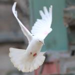 Высоколетный голубь белого цвета