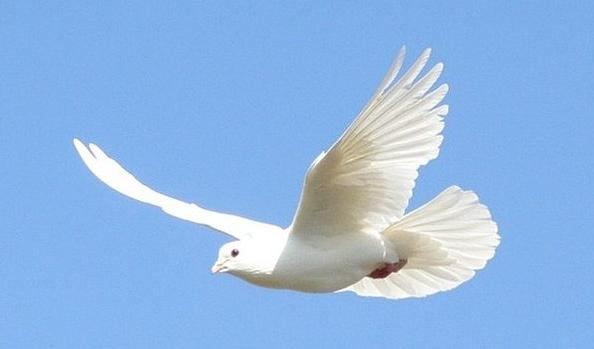 Фото голубя во время полета