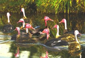 Розовоголовые утки в воде