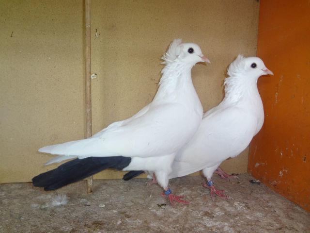 Фото чернохвостых бакинских голубей