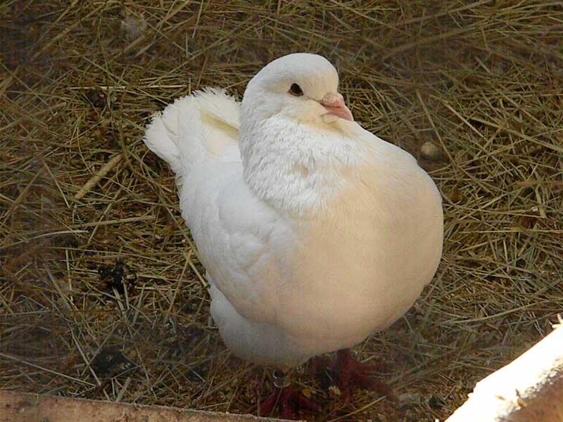 Ишимские мастные голуби фото работ