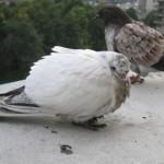Фото больного белого голубя