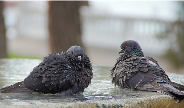 Дикие голуби, больные орнитозом