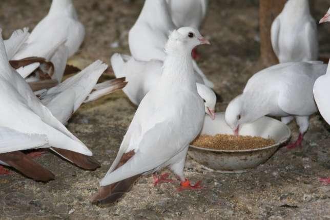 Тегеранские голуби белой масти