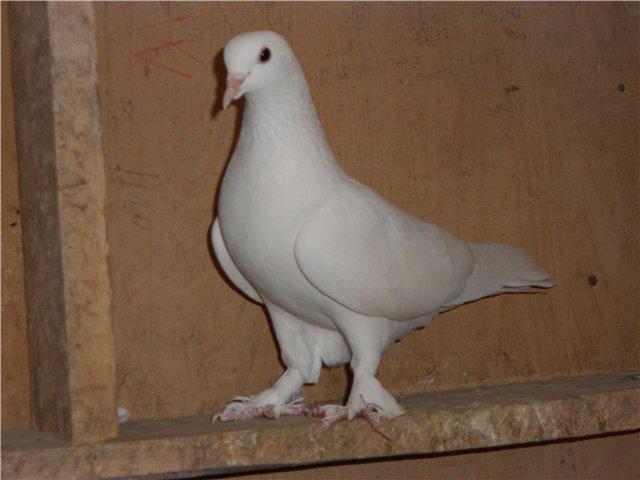 Бакинский сплошной голубь белого цвета
