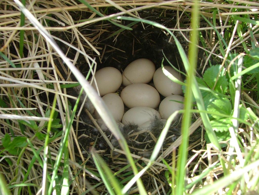 Фото гнезда чирка-свистунка